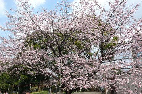 上野の桜はどのくらい咲いたの?