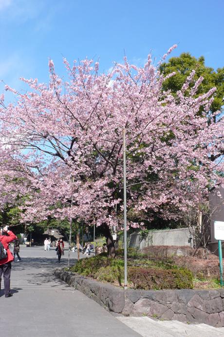 本日の上野公園の桜@満開?