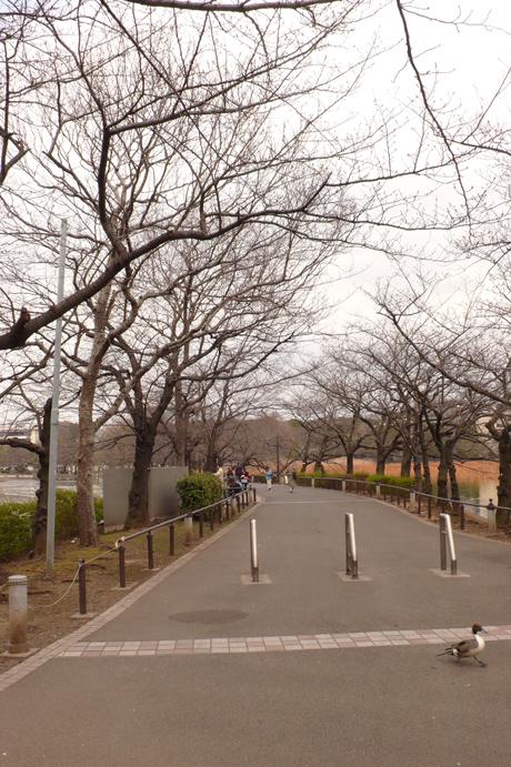 不忍池方面のサクラの様子@上野公園