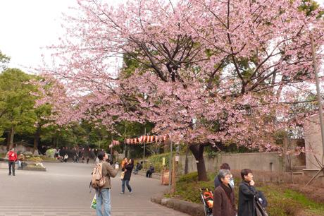 上野公園の桜の開花はいつかな?今日の桜フォト