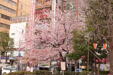 お花見の準備も着々と&上野公園の今日の桜は?