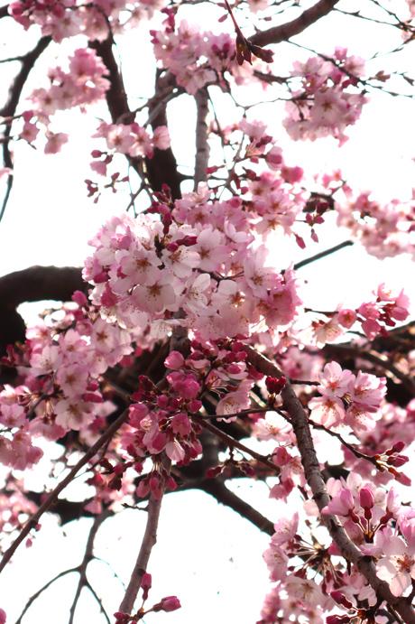 3月17日の上野公園の桜の様子は?綺麗な桜