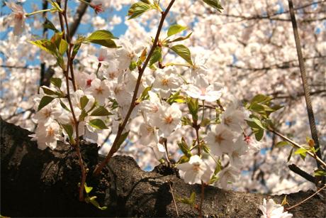 3月30日の上野公園と桜の写真を追加!