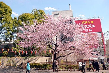 つぼみに色がついてきた?上野公園のサクラ