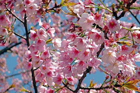準備の進む上野公園と新しく始まる桜
