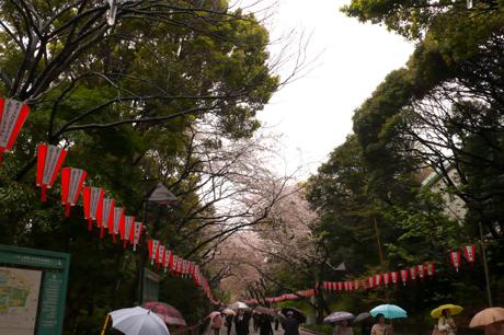 雨で上野公園の桜が大ピンチ!今週どうなる?!