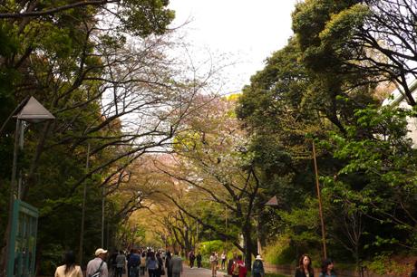 桜並木の桜の花は散っちゃいました@上野公園