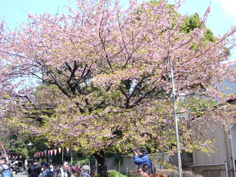 3/27 満開満席@上野公園の桜お花見!