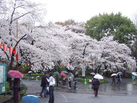3/31 雨のち晴れ!今日の気になるお花見!