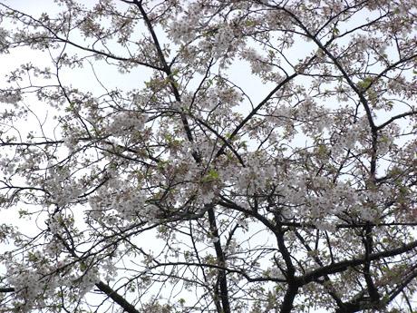 4/8 強風が吹く隅田公園の桜は!? 今…!!