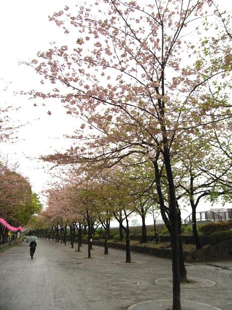 4/10 ピークを迎えたその後…@隅田公園
