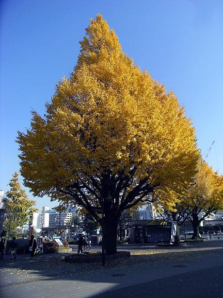 上野公園の大きな銀杏