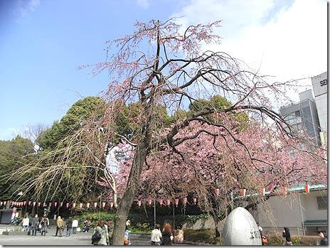 枝垂桜も咲き始めたよ!@上野公園