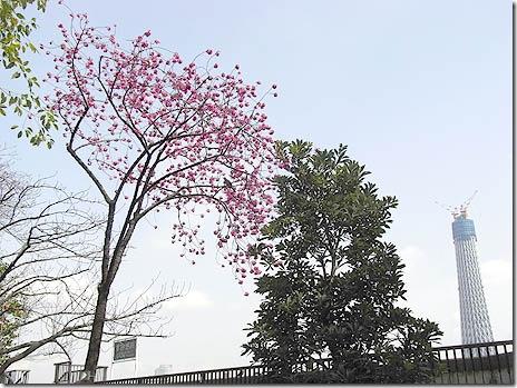 カンヒザクラが綺麗に咲いてる♪@隅田公園