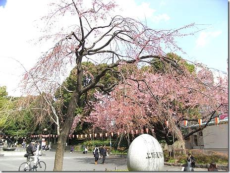開花目前!上野公園お花見速報