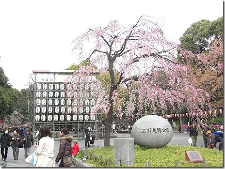 開花したよ!お花見開始~@上野公園