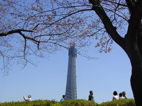 隅田公園も週末に向けて開花中【5部咲き】