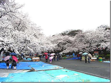 サクラ満開!上野公園は雨でも・・??