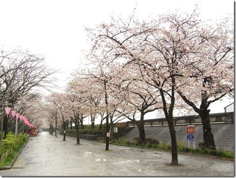 お花見も今日は一休み@隅田公園【満開】
