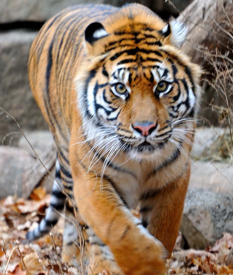 上野動物園 スマトラトラの新しい仲間が来園します