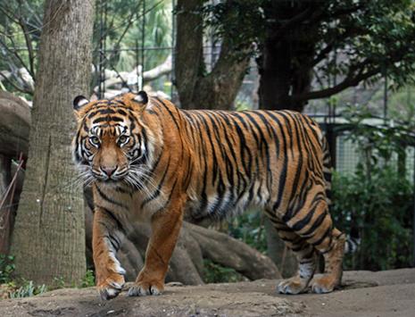 上野動物園 スマトラトラの「インダ」を公開します