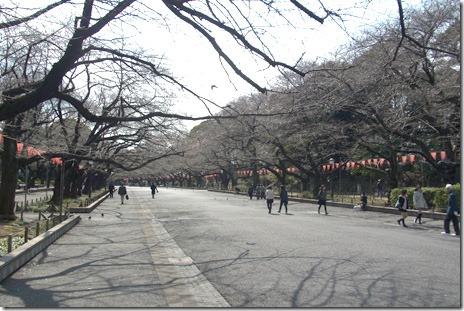 大寒桜が満開に!@上野公園