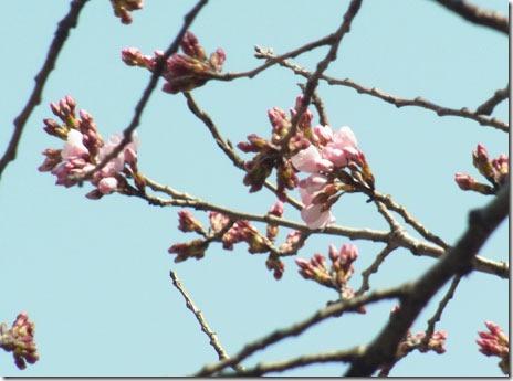 いろいろなサクラが咲き始め@上野公園