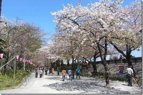 まだまだ綺麗なサクラがいっぱい@隅田公園(台)