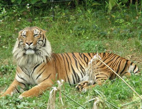 上野動物園 スマトラトラとアカカワイノシシがやってきます