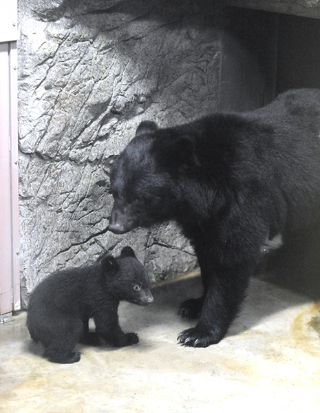 上野動物園 ニホンツキノワグマの赤ちゃん誕生