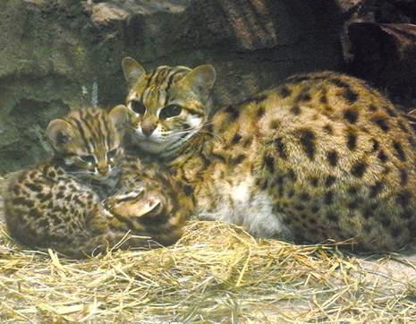 上野動物園 ベンガルヤマネコの赤ちゃんが生まれました
