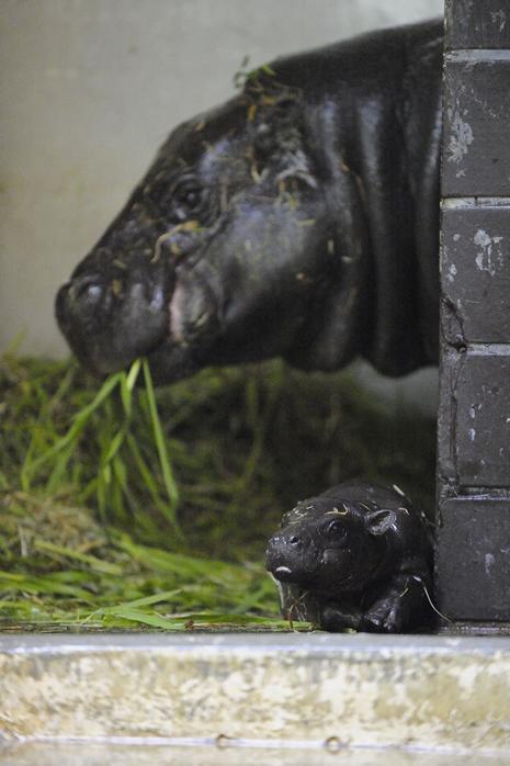 上野動物園 コビトカバの赤ちゃんとカリフォルニアアシカの赤ちゃんが誕生しました