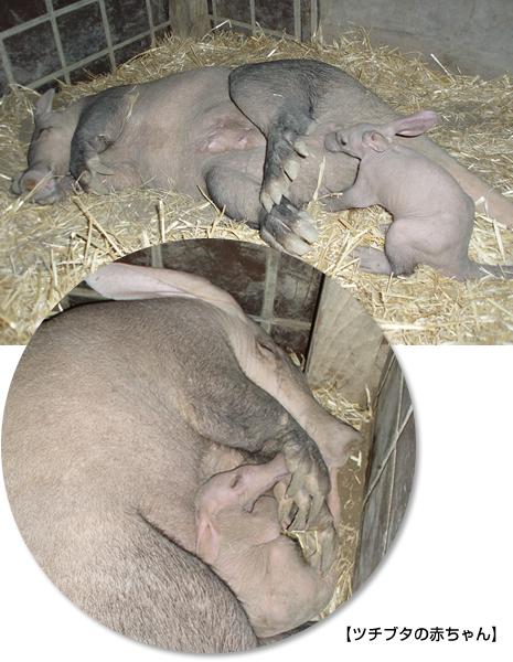 上野動物園 ツチブタの赤ちゃんが生まれました