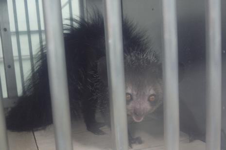 上野動物園 アイアイがやってきました/子ども動物園にカピバラがデビューします