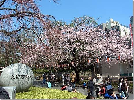 大寒桜が綺麗に咲いているよ! 上野公園