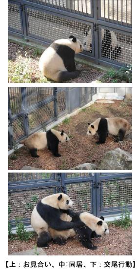 上野動物園 ジャイアントパンダの展示を再開します