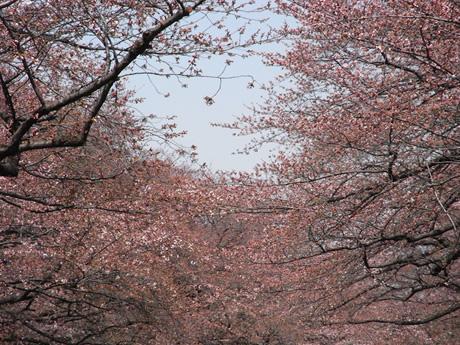 神社から見る桜ビュースポットがある上野公園