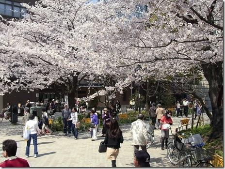 今が見頃!日本晴れ隅田公園!