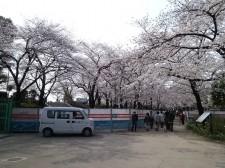 まだ5部咲き?? | 隅田公園