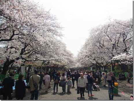 最高のお花見日和!上野公園の桜は?