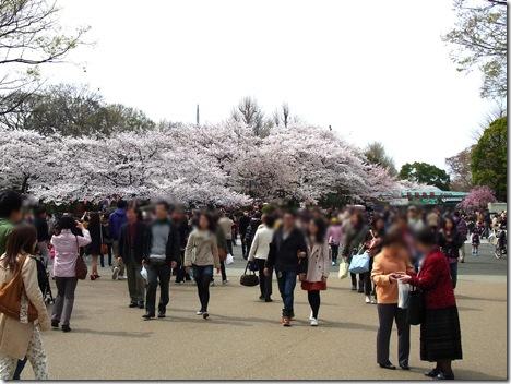 散り始めました。| 上野公園