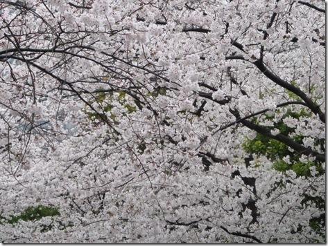 ほぼ満開の9分咲き! | 隅田公園
