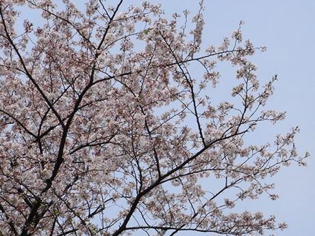 お花見はお早めに!(上野公園)