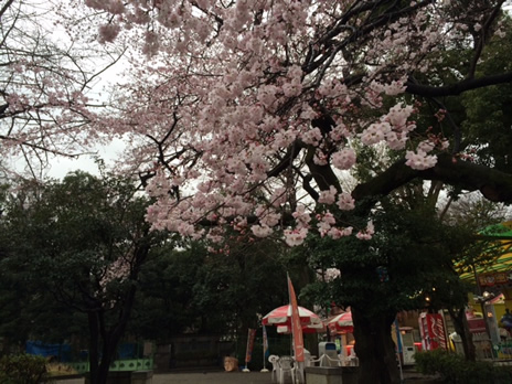 桜が開花しました。 上野公園 美術館・博物館 混雑情報他