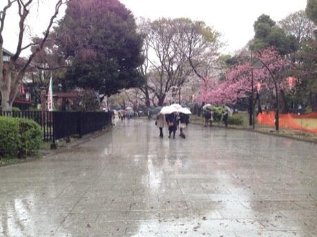 雨に濡れる桜 上野公園