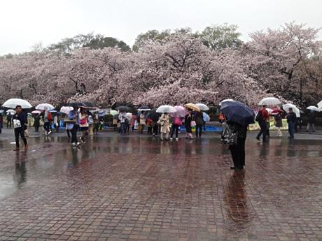 雨に濡れる桜 2 上野公園