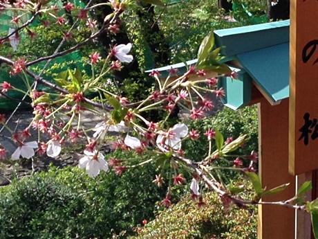 お天気良好!花見日和に賑わってます! 上野公園