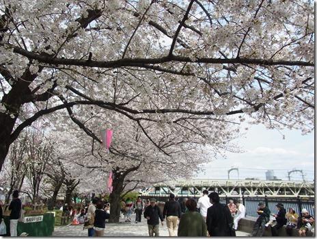 満開のサクラ 船でお花見!隅田公園