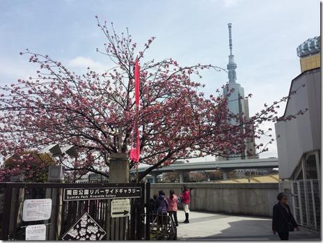 4月9日 隅田公園 ソメイヨシノ、僅か