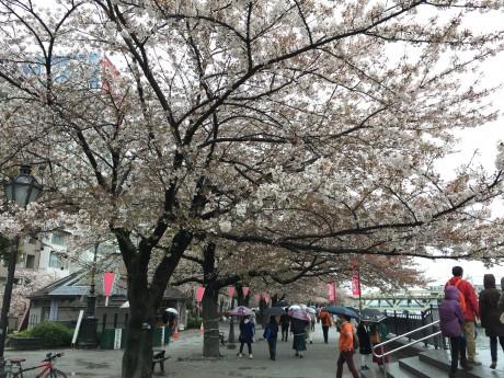 4月5日(日)隅田公園:雨の中の桜